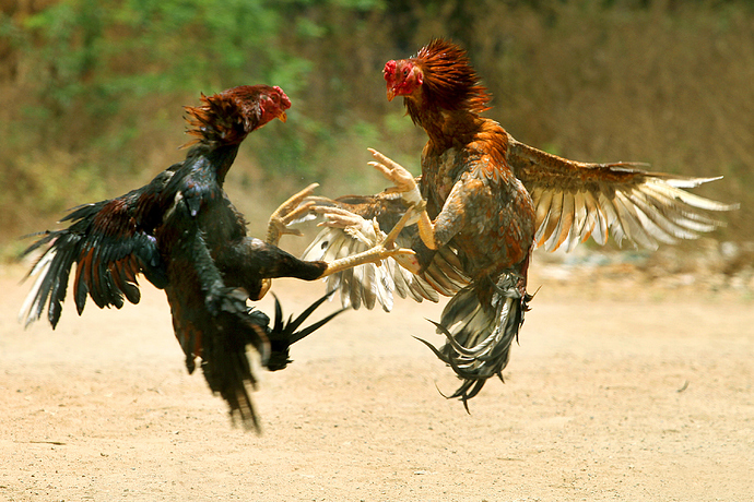 feathers_flying_cock_fight